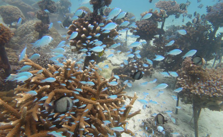 美ら海体験ダイビングツアーで見れる珊瑚のミニ養殖場のデバスズメダイ