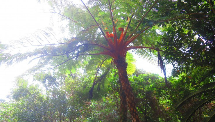 やんばるに生息するヒカゲヘゴ(別名スネークツリー)