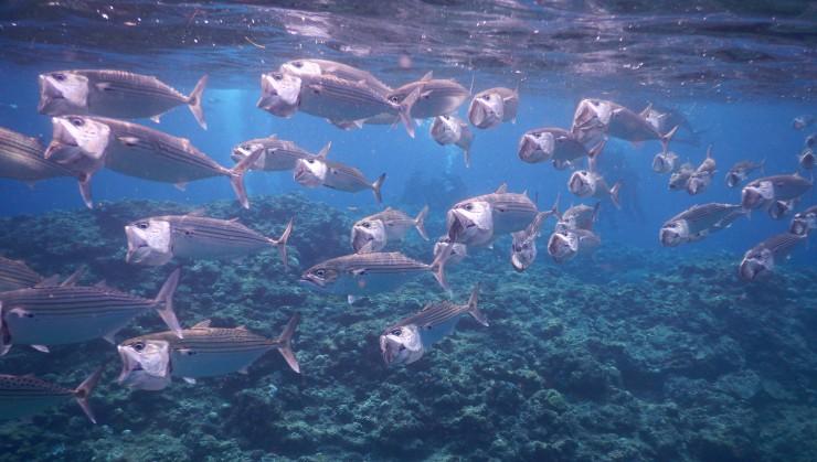 グルクマの群れ。体長40cm程のサバ科の魚達を真近に見ることが出来ます。
