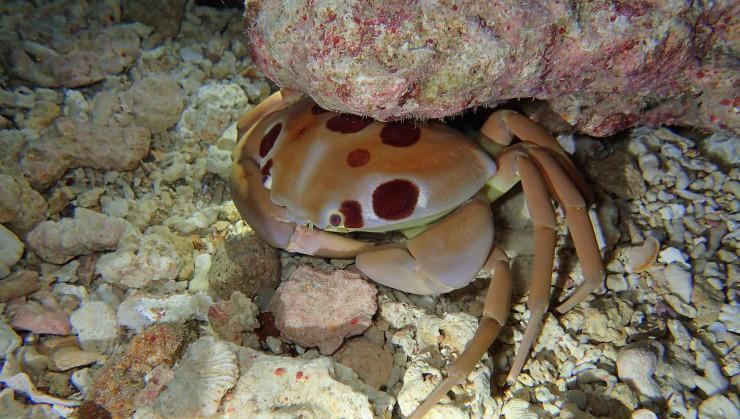 ビックな赤紋蟹(アカモンガニ)