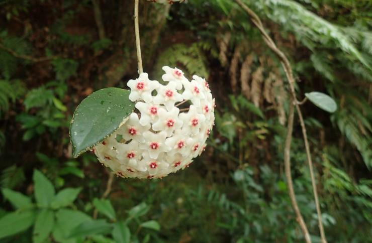 梅雨空に静かに可愛く咲く桜蘭