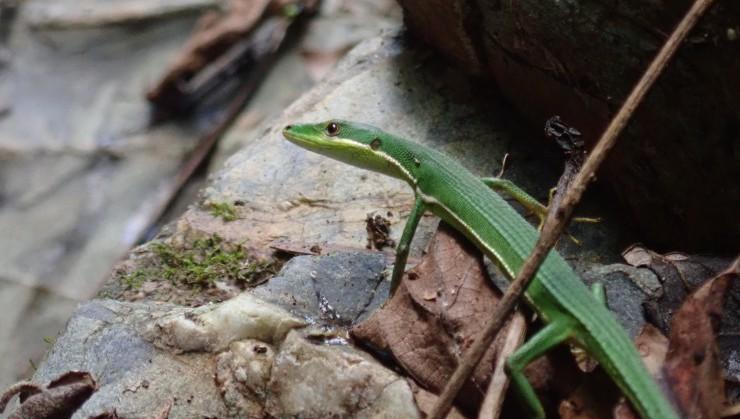 凛々しい表情のアオカナヘビ
